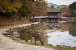 Deer grazing near Sagiike Pond, Nara Park