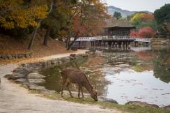 Deer grazing near Sagiike Pond, Nara Park