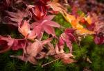 Maple Leaf Fall, Yoshikien Garden, NaraPark