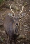 Tame deer stag, NaraPark