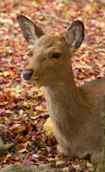 Tame doe and autumn colours, Nara Park