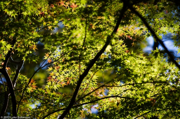 The very first signs of autumn colour (momiji) in Meiji Gardens
