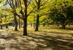 Gingko trees beginning to drop, YoyogiPark