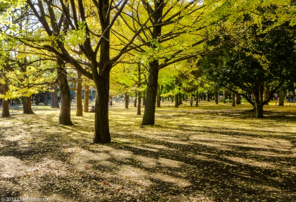 Gingko trees beginning to drop, Yoyogi Park
