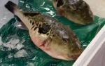 Deadly fugu (blowfish), Tsukiji FishMarket
