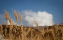 Tall Grasses on Mount Aso