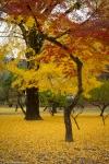 Autumn Colours outside KumamotoCastle