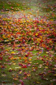 Autumn colour leaf fall in the garden of the Golden Pavilion, Kyoto