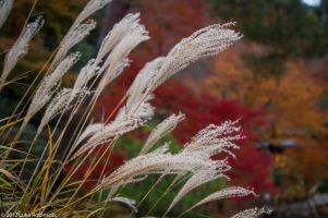 Tall grasses, garden of the Tenryuji Temple, Kyoto