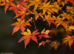 Autumn leaves, garden of the Tenryuji Temple,Kyoto