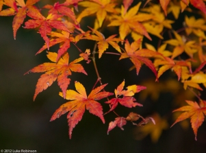 Autumn leaves, garden of the Tenryuji Temple, Kyoto
