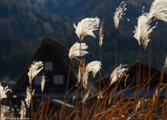 Tall grasses and gassho-zukuri farmhouses, Ogimachi, Shirakawa-g