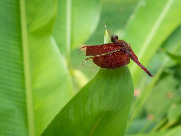 Red Dragonfly on Leaf, Four Seasons Sayan